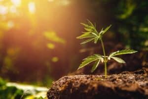 A lone marijuana plant growing at sunset.