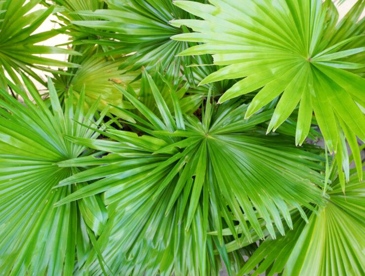 Saw Palmetto: The Masculine Herb | The Alchemists Kitchen