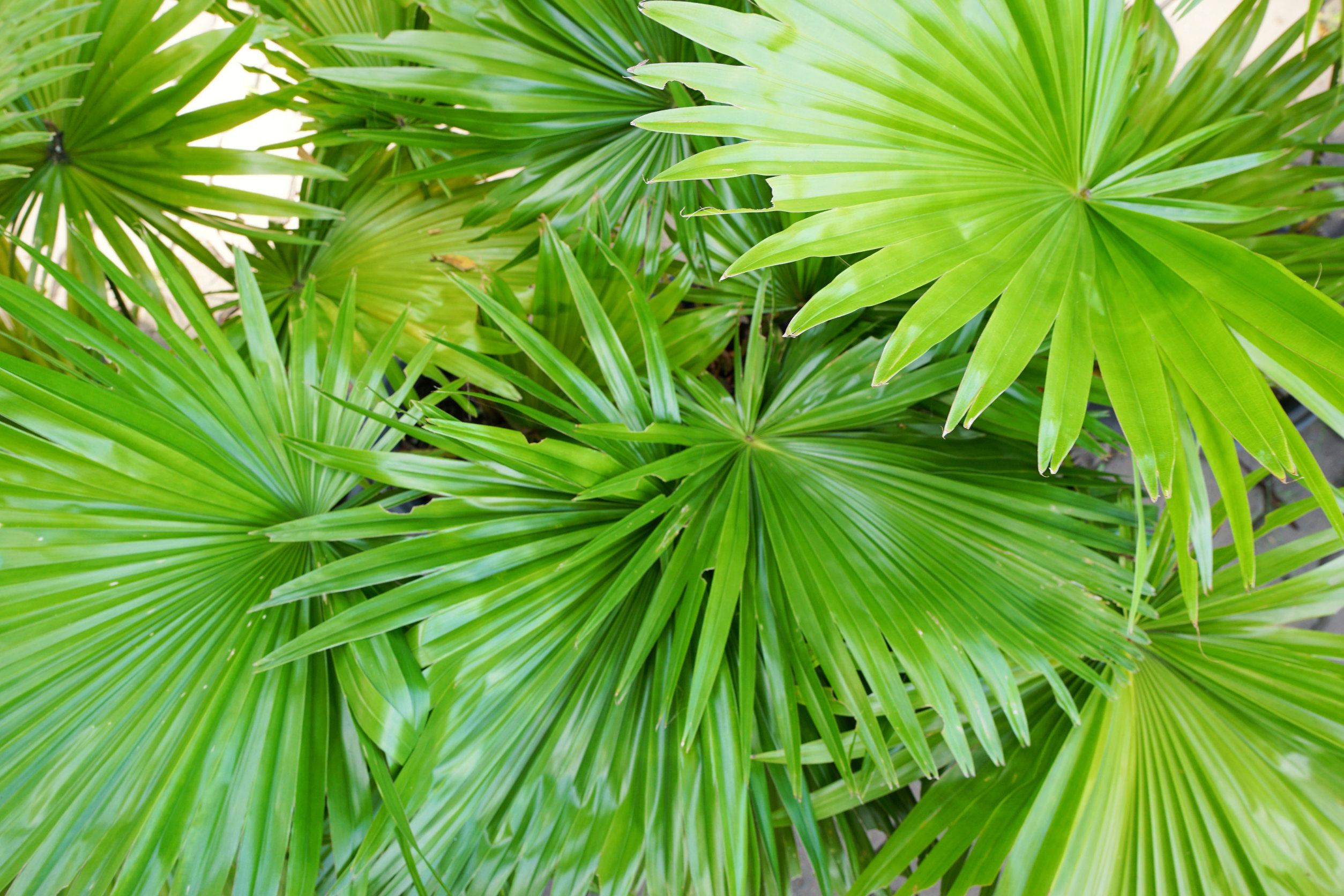 Saw Palmetto: The Masculine Herb