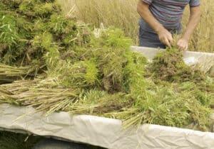 Professional farmer tying bundles of freshly harvested hemp stalks: industrial hemp cultivation