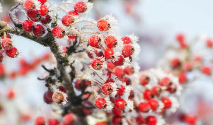 Wisdom Blog | Hawthorn Berries