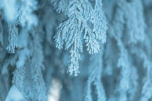 Snow-Covered Cedar