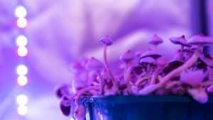 Cultivation of psilocybin mushrooms