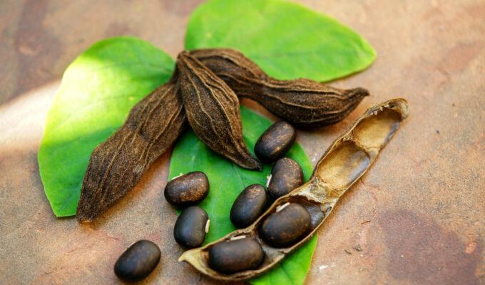 mucuna pruriens or velvet beans