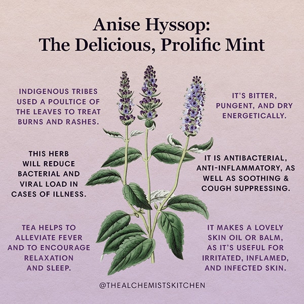 Anise Hyssop Agastache foeniculum Infographic