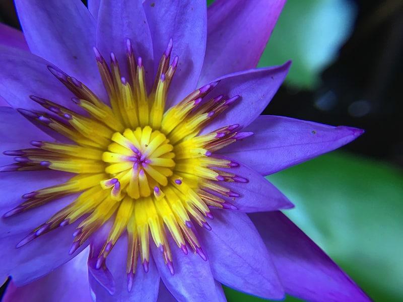 Blue Lotus In Bloom