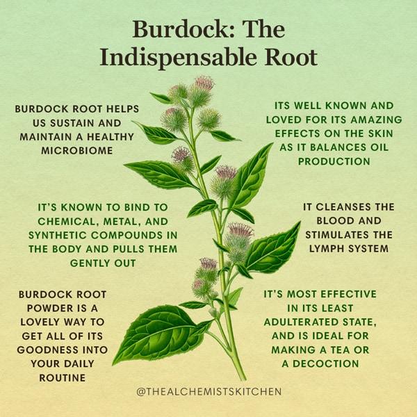 Burdock Herb Benefits Infographic