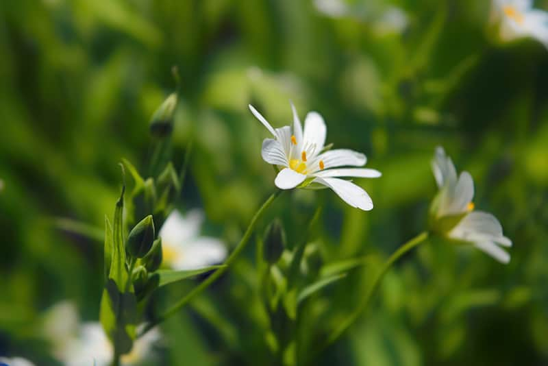 Chickweed Flowers in Field