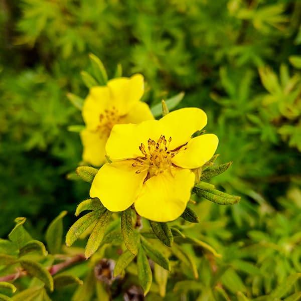 Damiana Turnera Diffusa growing in wild