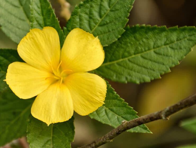Damiana, Turnera Diffusa or Turnera aphrodisiaca growing in wild