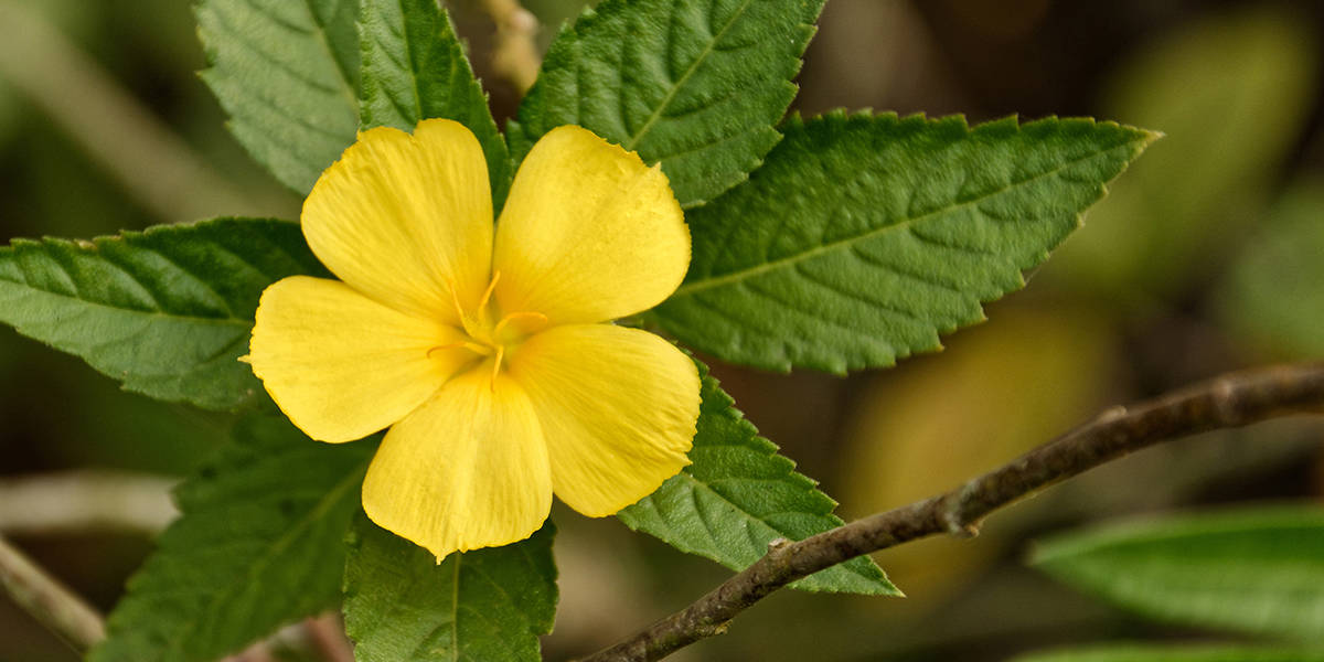 Damiana: Herb of Embodied Awareness