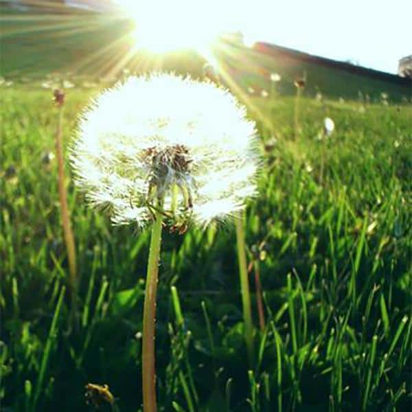 The Many Gifts of The Much Maligned Dandelion