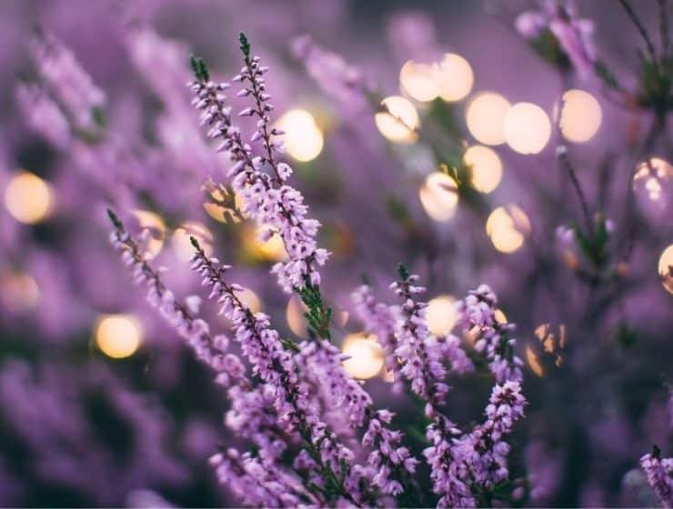Lavender_Flowers_Field.JPG