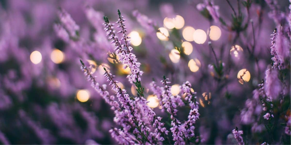 Lavender: The Herbal Chill Pill