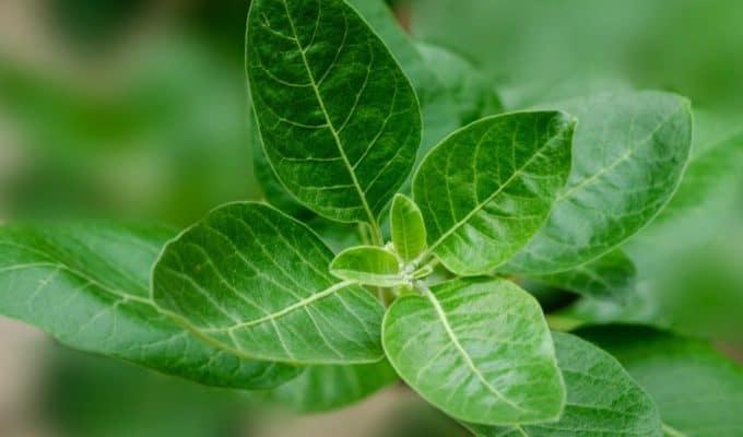 Ashwagandha_Plant.JPG