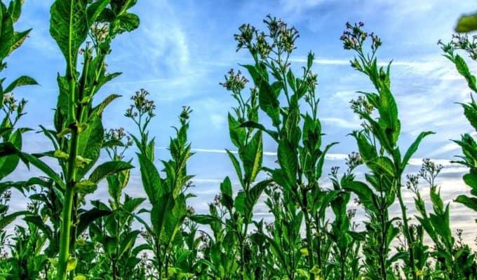 Tobacco_Plants.JPG