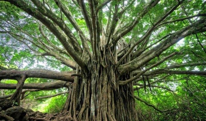 Wide_Tree.JPG