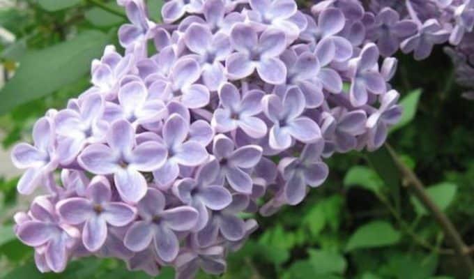 Purple_Lilac_Flower.JPG
