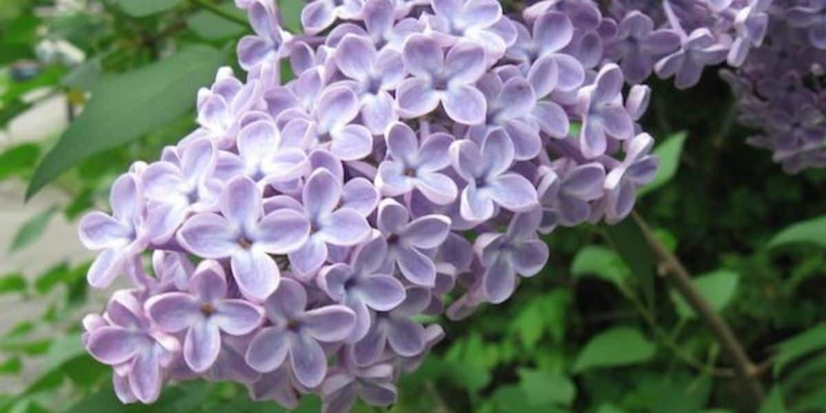 Lilac: The Fragrant Vernal Flower
