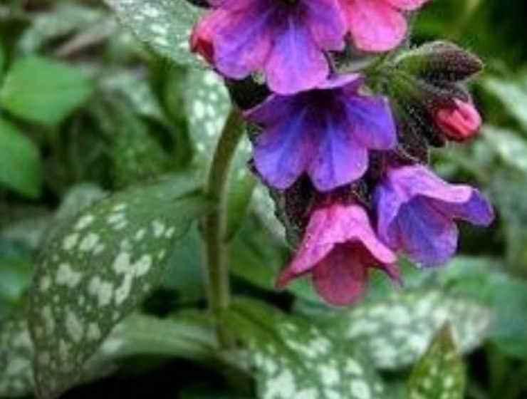 Purple Flower Lungwort