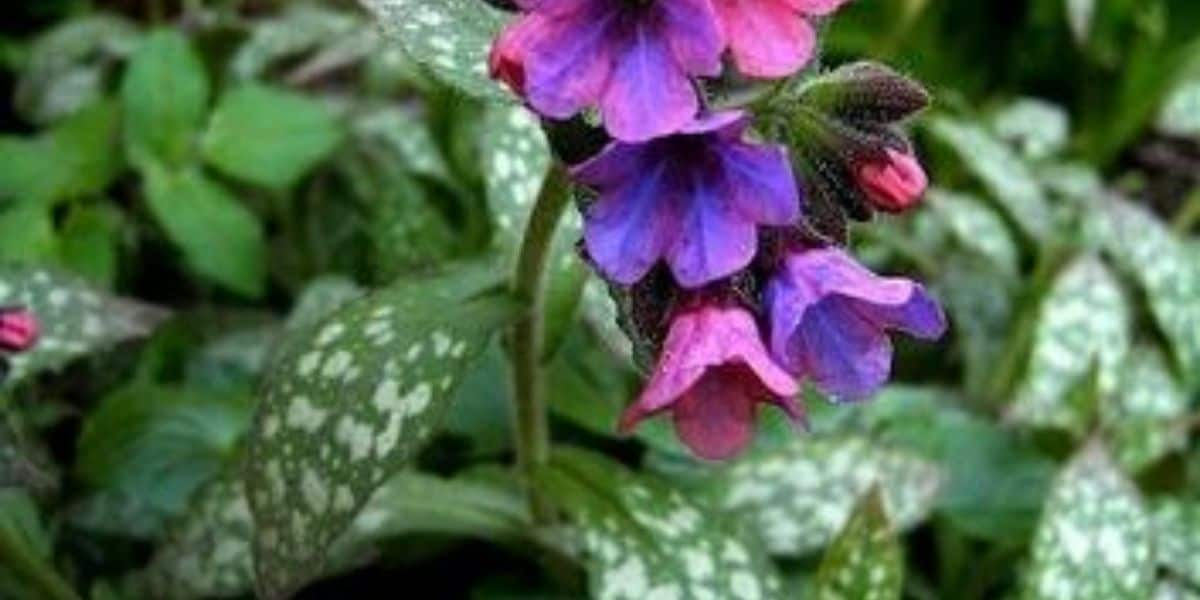 Lungwort: A Friend to the Inflamed