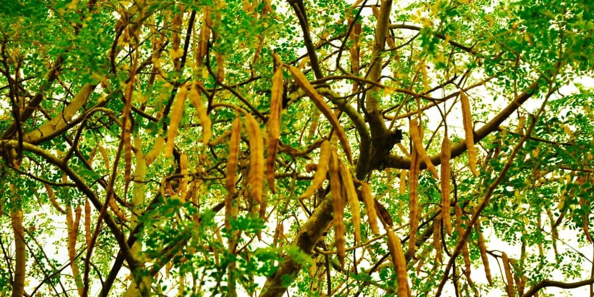 Moringa: The Miracle Tree