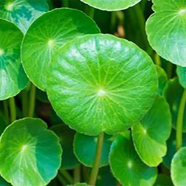 Discover Gotu Kola, Nature's Cure for Stress