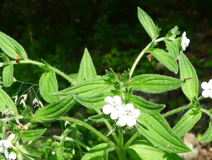 Gromwell Root - Lithospermum erythrorhizon growing naturally