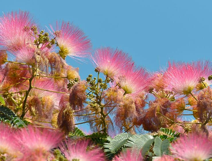 Mimosa Flower Tree