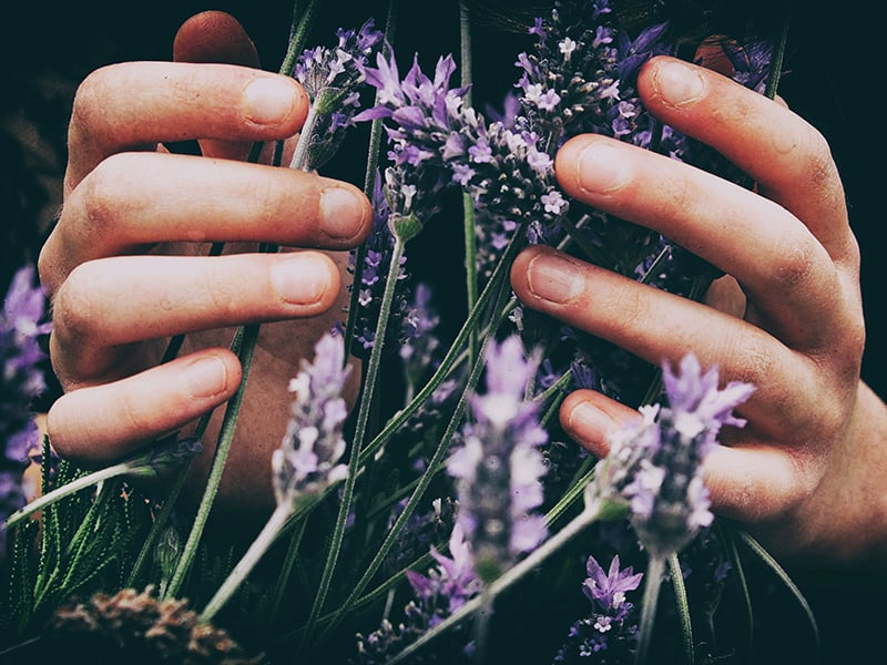 Persons Hands Smelling Lavender