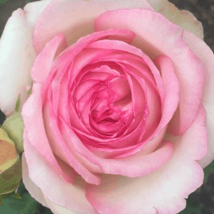 Rose: The Flower of Love