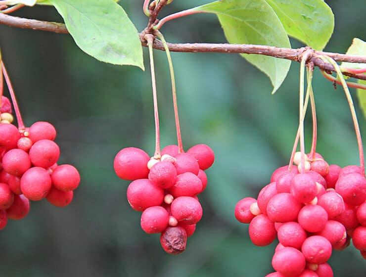 Schisandra Berries Hanging On Vine