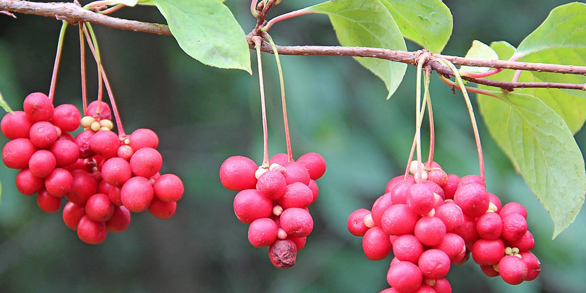 Schisandra: The Five-Flavor Fruit
