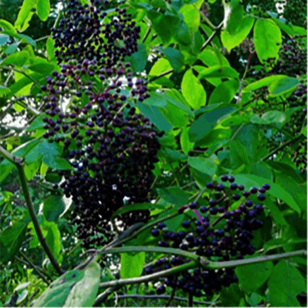 Elderberry: Queen of Herbs