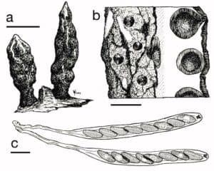Xylaria Mushroom
