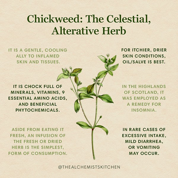 Chickweed Infographic