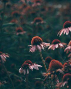 Echinacea: Herbal Immune Support