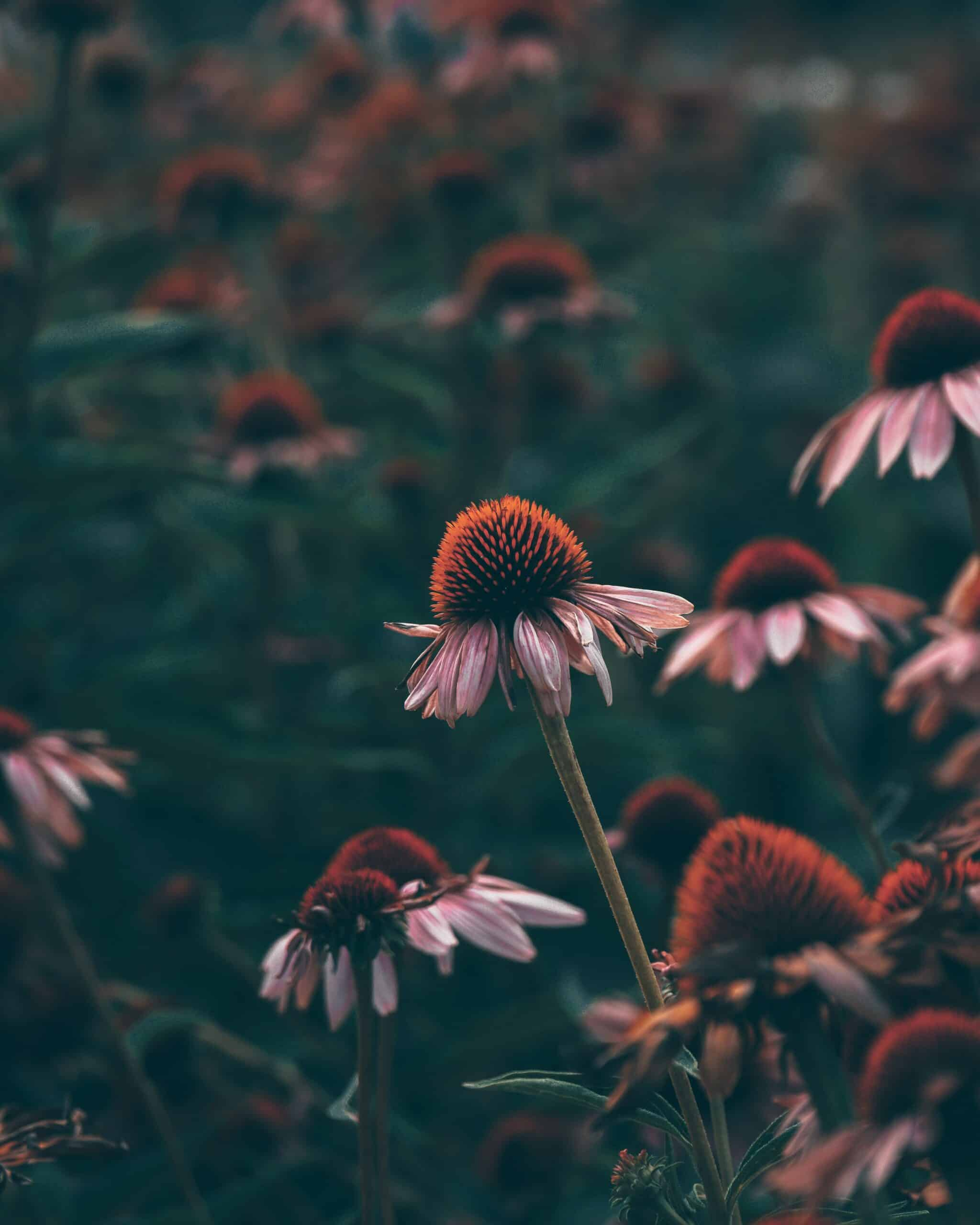 Echinacea: Herbal Immune Support