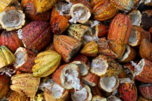Cacao fruit, pre processing