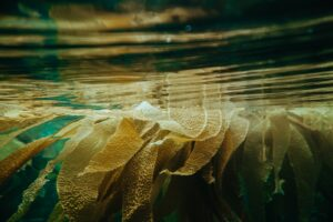 Kelp floating in the seas   The Alchemical Elements of Kelp   The Alchemists Kitchen