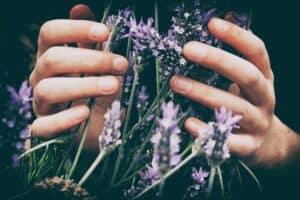 Hands holding lavender herbs.