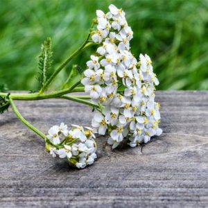 Yarrow: Ancient Herb of Healing, Protection, and Power