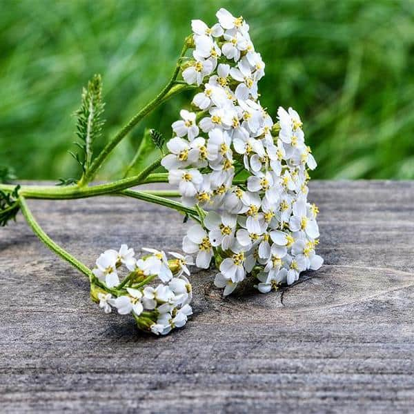 Yarrow: Ancient Herb of Healing, Protection, and Power | The